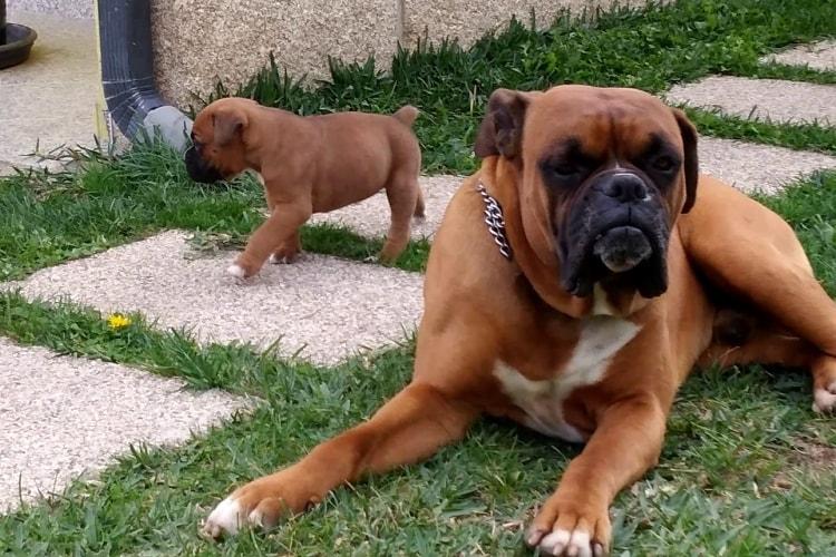 Boxer adulto deitado com seu filhote ao lado