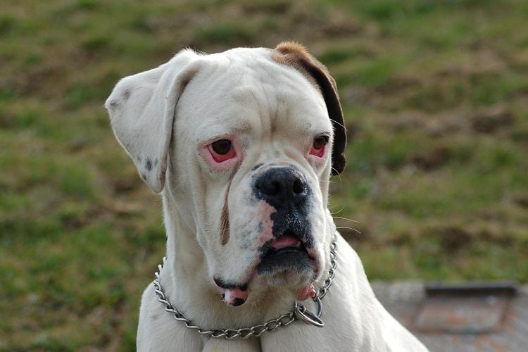 Boxer branco com os olhos vermelhos