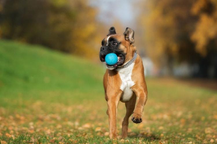 Boxer correndo com bolinha na boca