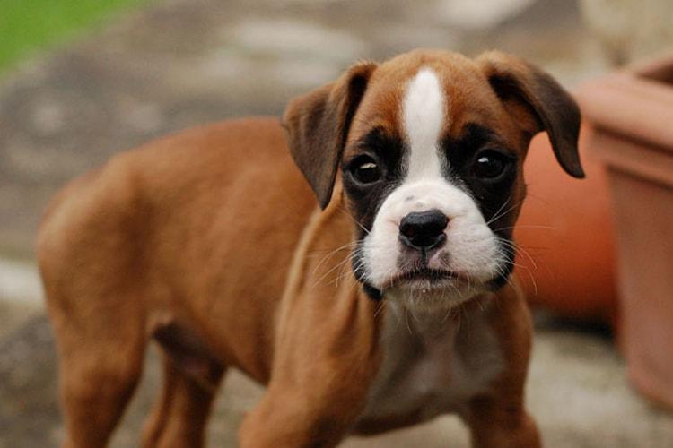 Boxer filhote marrom com mancha branca no rosto