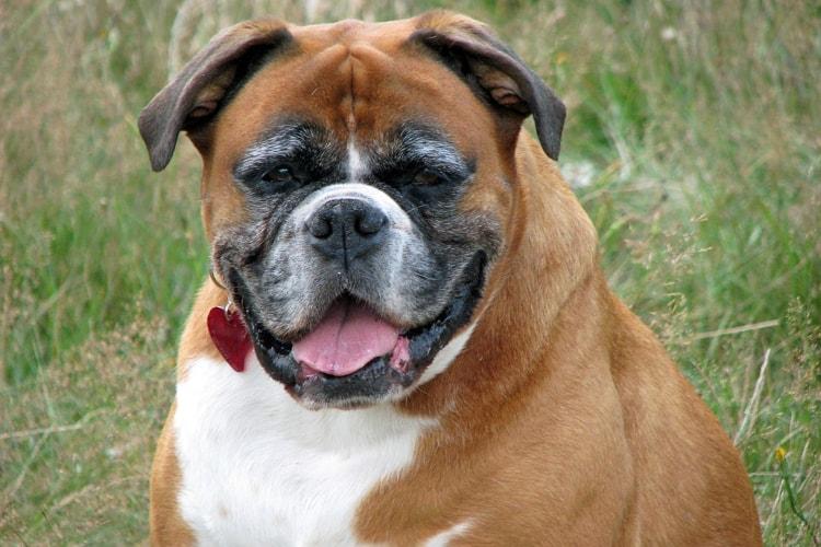 Boxer gordo e velho