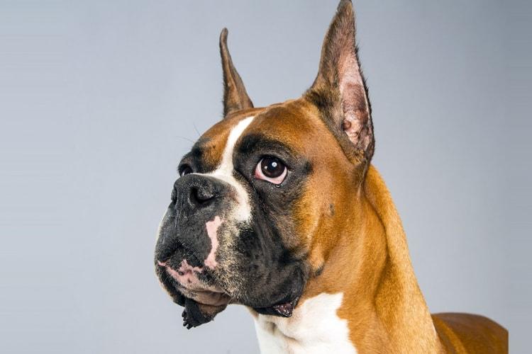 Boxer em estado de alerta com as orelhas levantadas