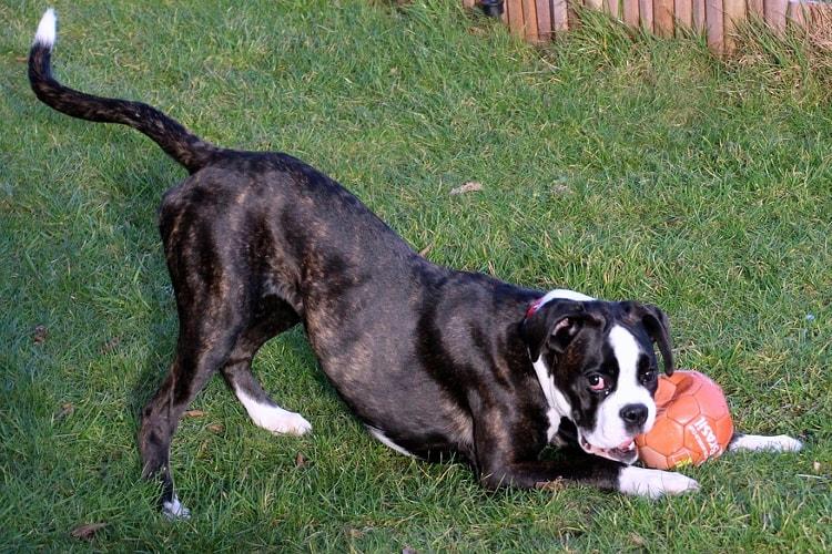 Boxer preto brincando com uma bola vermelha