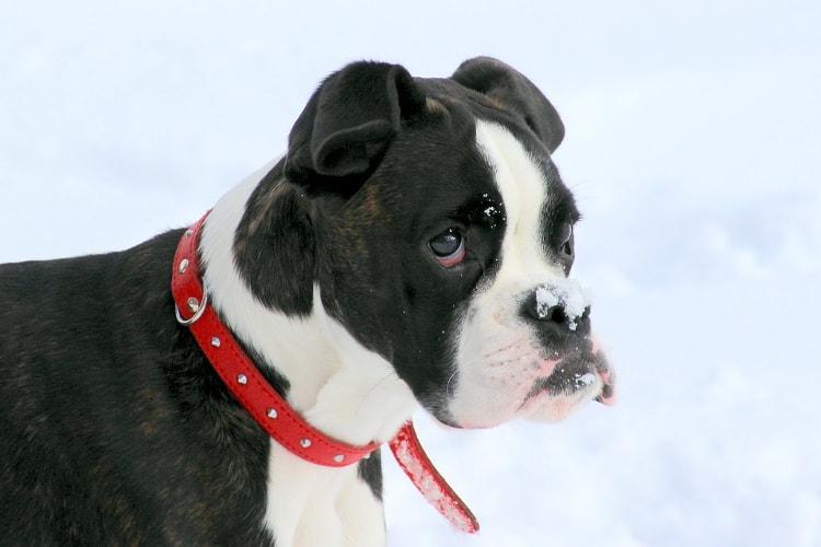 Boxer preto com manchas brancas