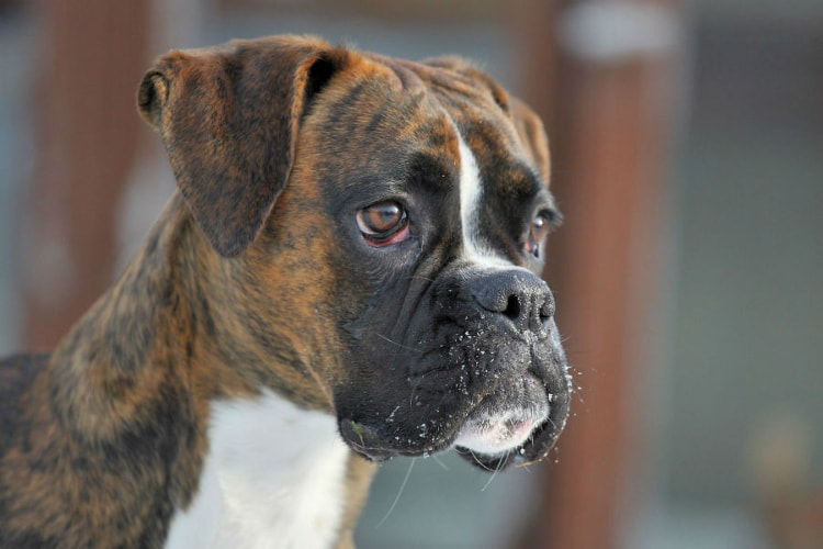 Boxer tigrado com o olhar fixo