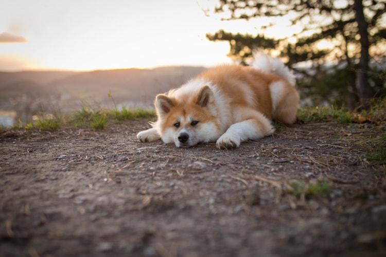 Akita deitado na terra