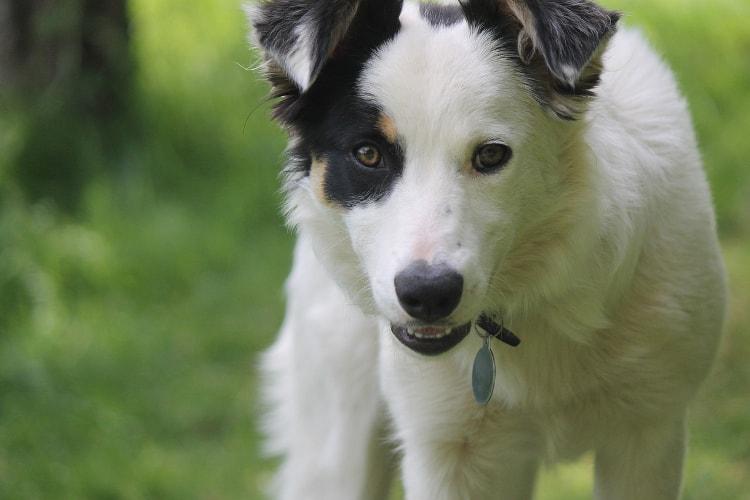 Border Collie branco com mancha preta nos olhos