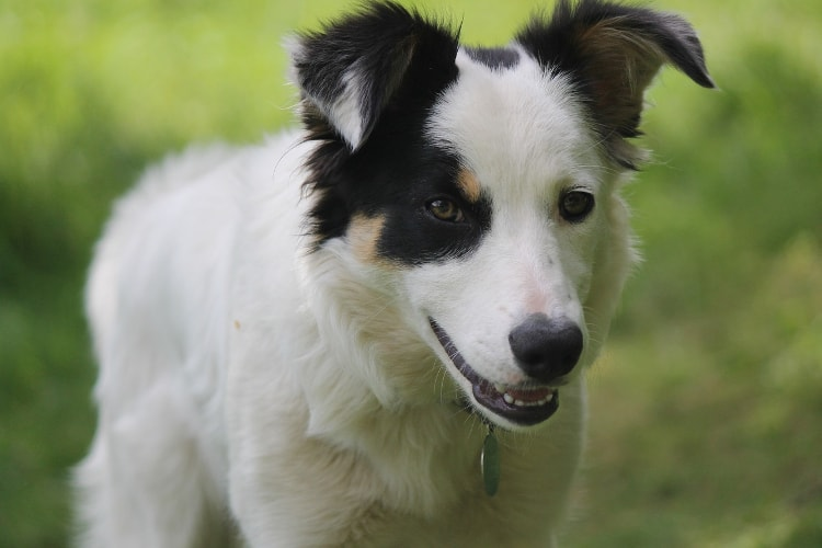Border Collie branco