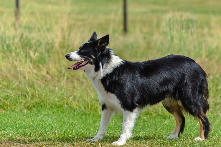 Border Collie preto em pé na grama