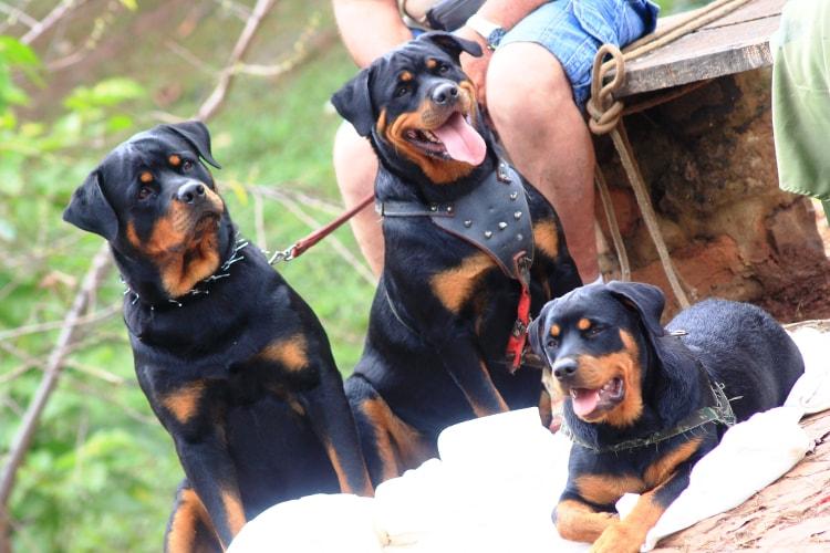 Família de três Rottweiler com o seu dono ao lado
