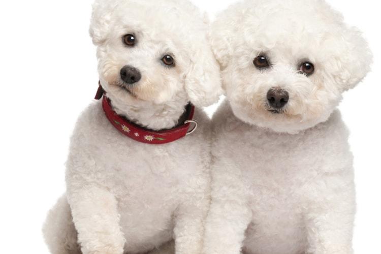Filhotes de poodle brancos