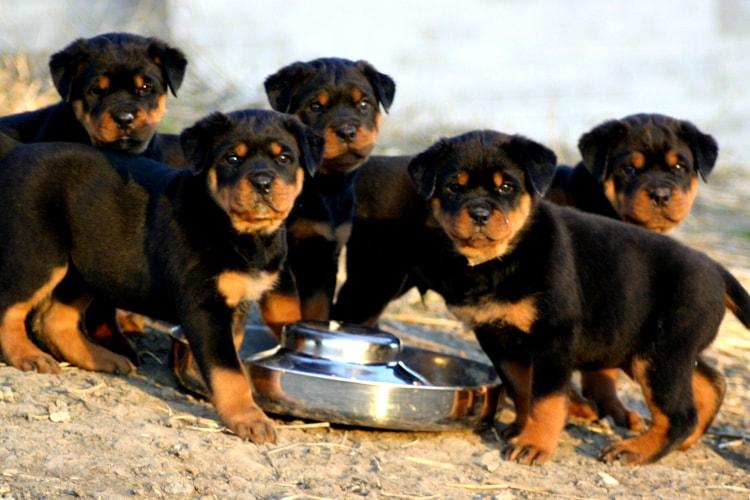 Filhotes de Rottweiler tomando água
