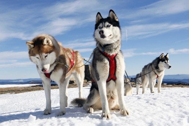 Huskies siberianos puxando trenó na neve
