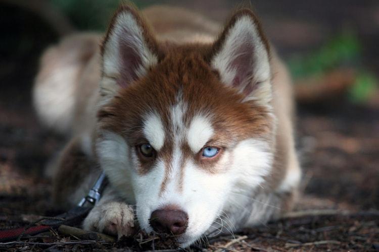 Husky com olho azul e verde