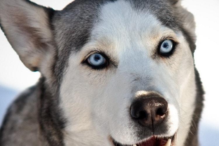 Husky de olhos azuis