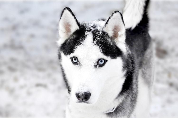 Husky Siberiano preto