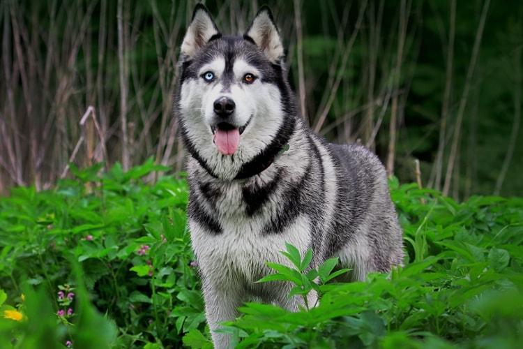 Husky siberiano alerta na floresta