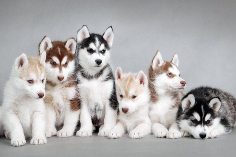 Cores diferentes de filhotes husky siberiano