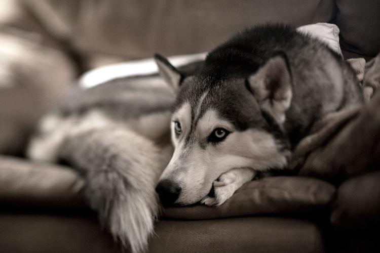 Husky deitado no sofá