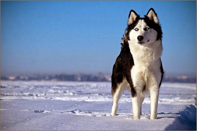 Husky siberiano em pé