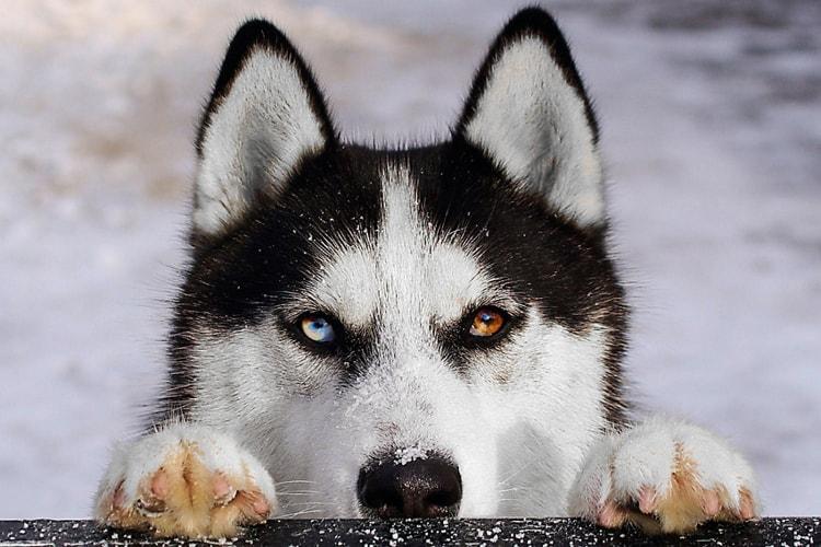 Husky siberiano personalidade