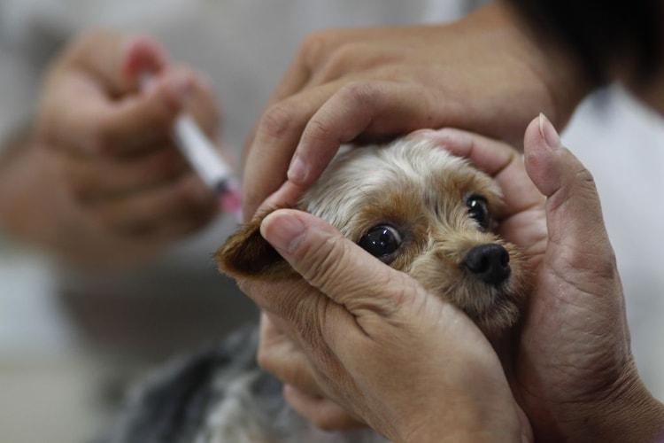 Cão sendo vacinado contra a parvovirose canina