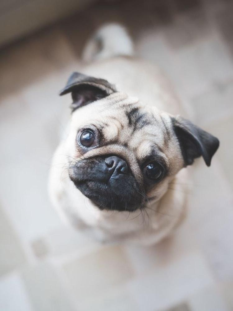 Personalidade do Pug