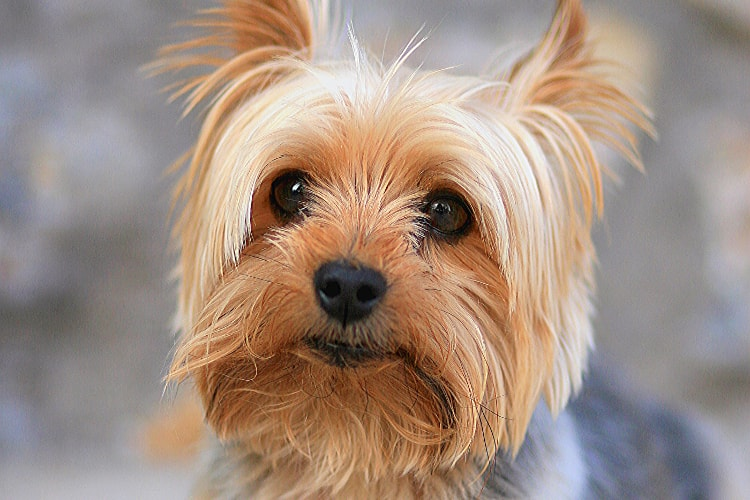 Personalidade Yorkshire Terrier