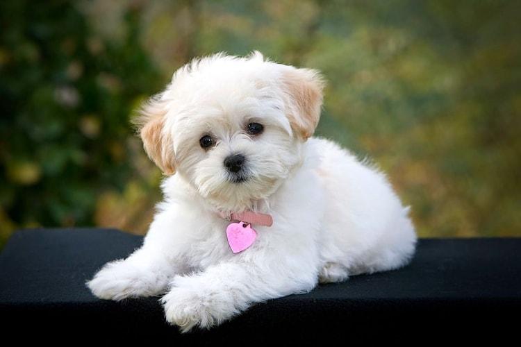 Poodle filhote branco olhando para a câmera