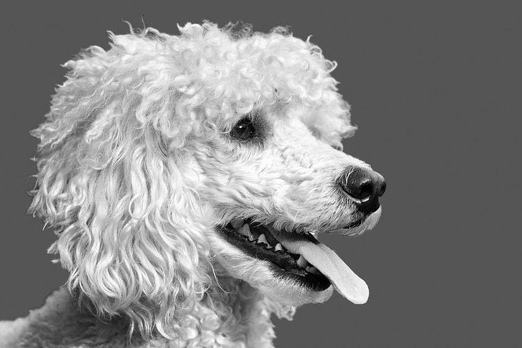 Poodle médio branco mostrando a língua