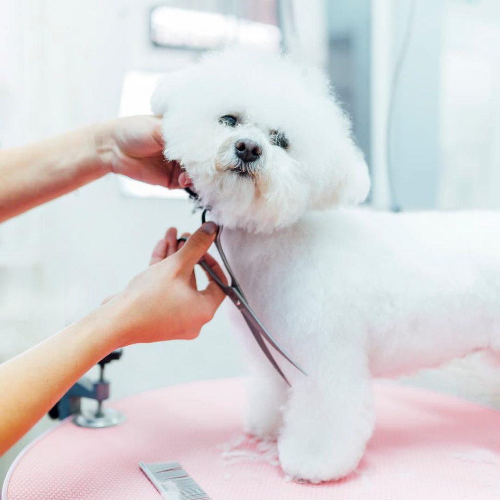 Pessoa tosando um poodle branco com uma tesoura