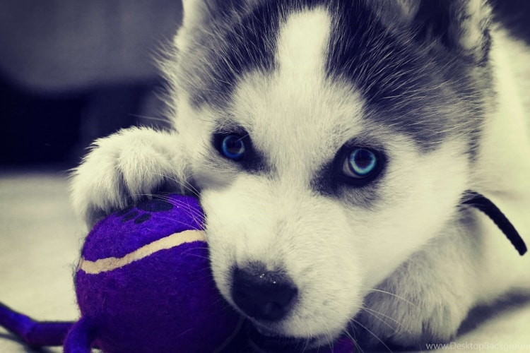 Preço de filhote de husky siberiano