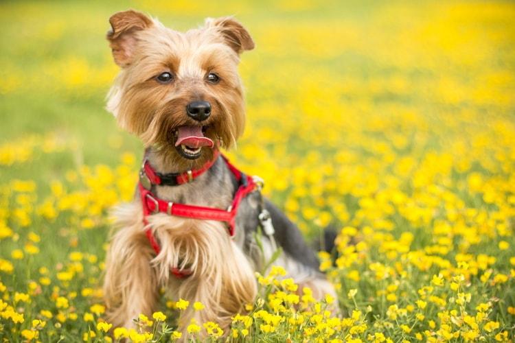 Preço Yorkshire Terrier