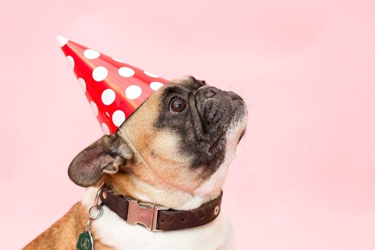 Pug com chapéu de aniversário