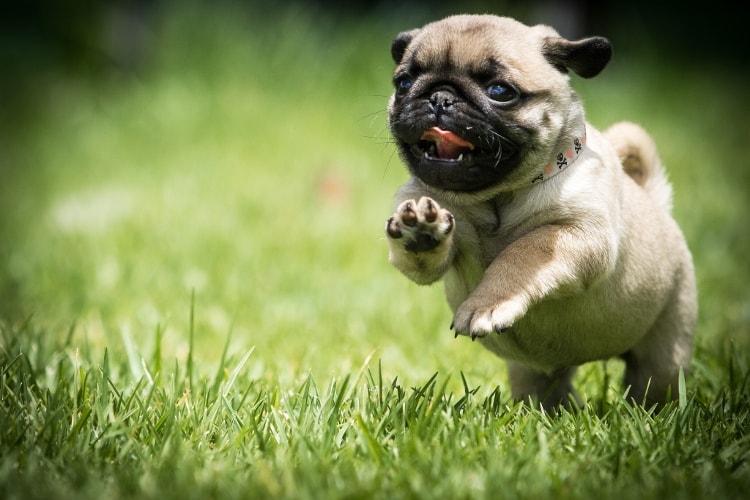 Pug correndo na grama