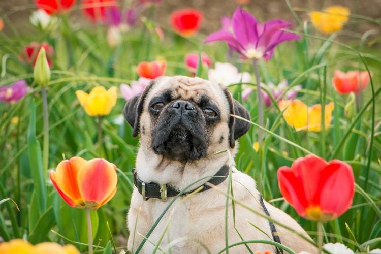 Pug com flores