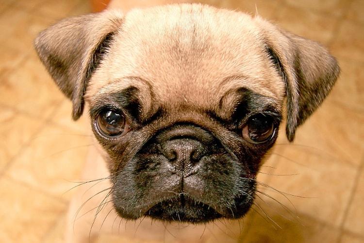 Rosto do Pug