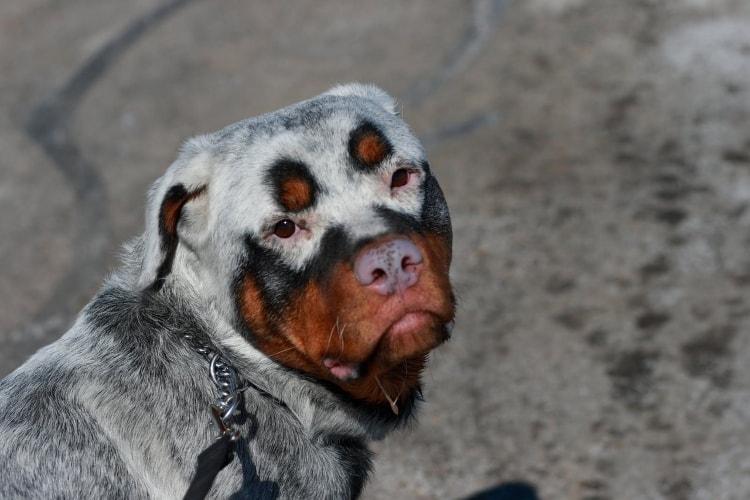 Rottweiler branco com vitiligo