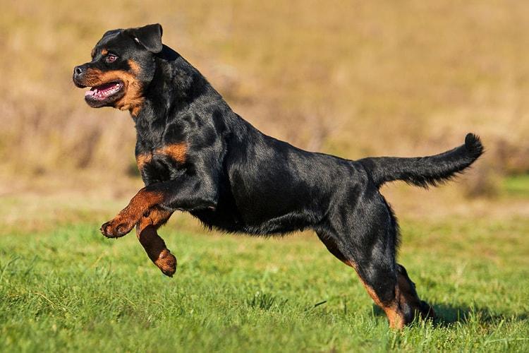 Rottweiler pulando de lado