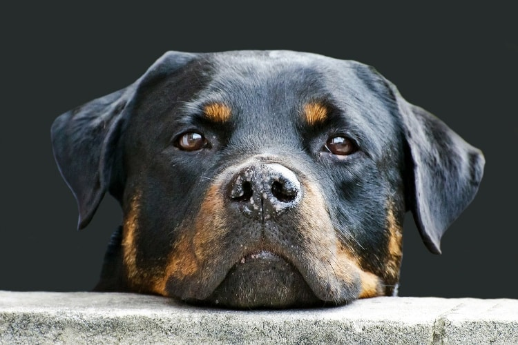 Rottweiler rosto de perfil