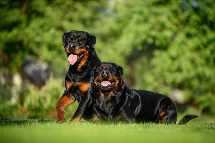 Dois rottweilers brincando na grama