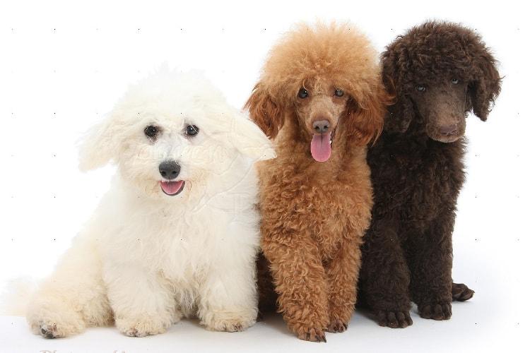 Tipos de Poodle gigante, médio e anão