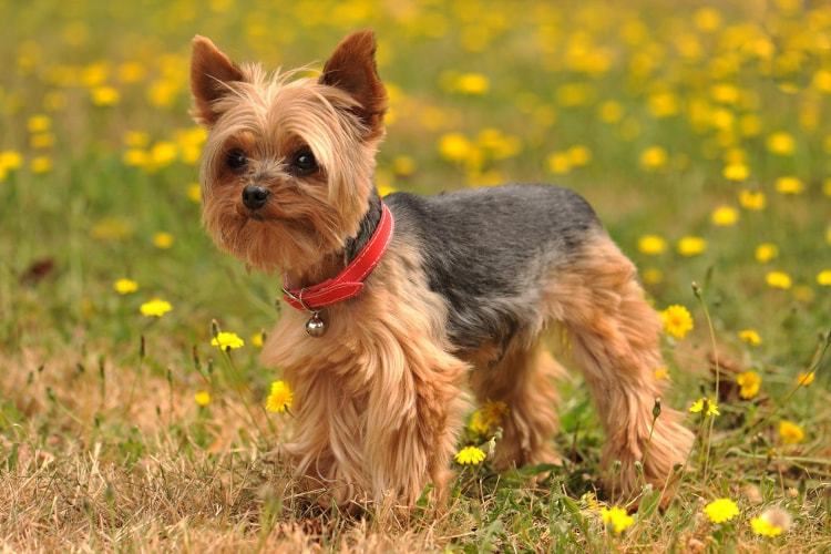 Tudo sobre o Yorkshire Terrier