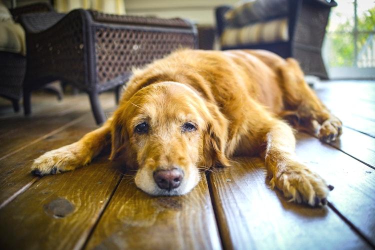 Cachorro triste com anemia