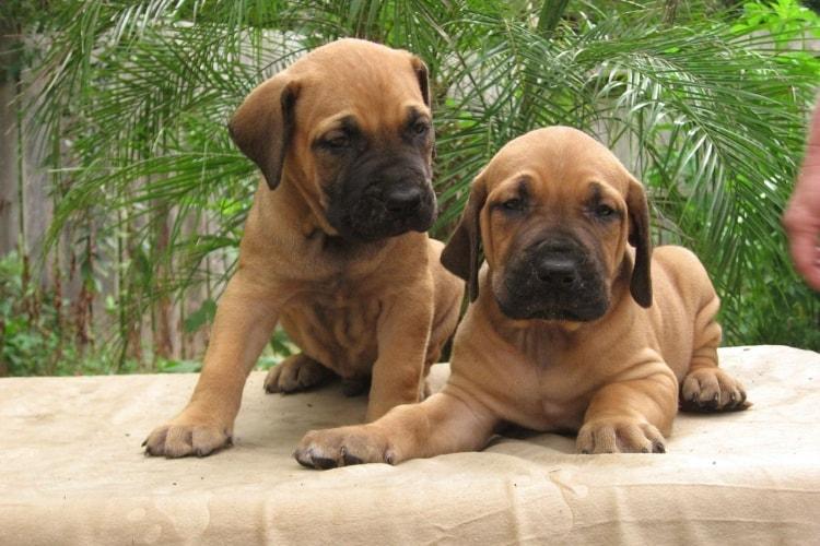 Dois filhotes de Fila Brasileiro