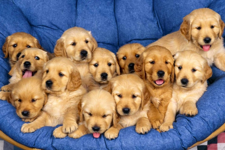 12 Filhotes de Golden Retriever
