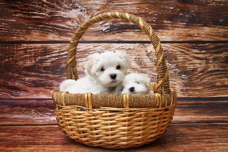 Filhotes de Maltês numa cesta
