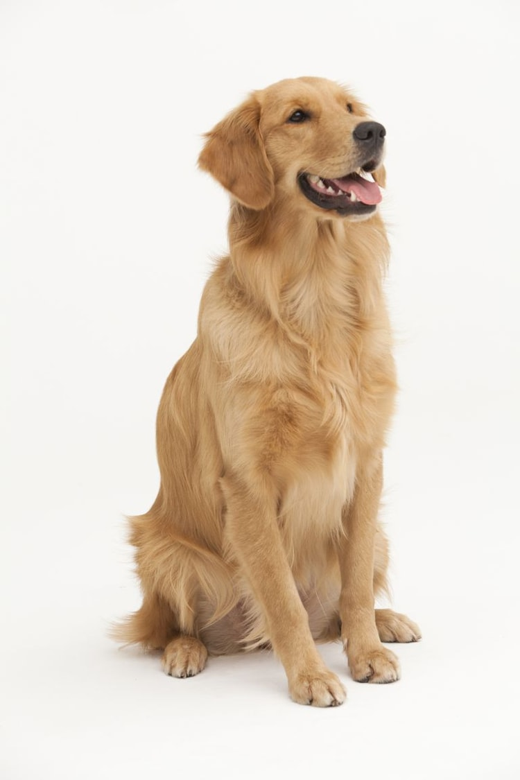 Foto do Golden Retriever