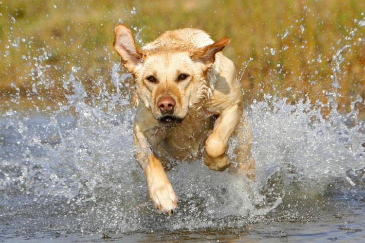 Labrador brincando na água