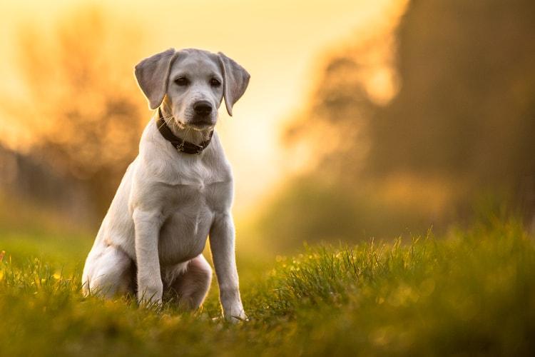 Labrador de cor branca